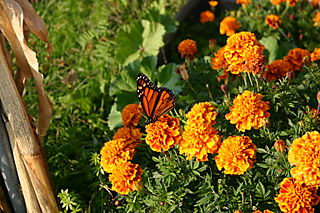 Butterfly and marigolds 100_0025