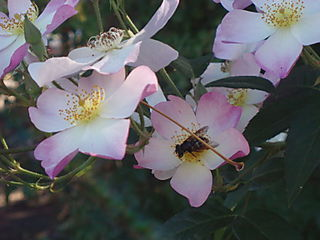 Wild rose and bee so pth will 155
