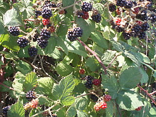 Blackberries82
