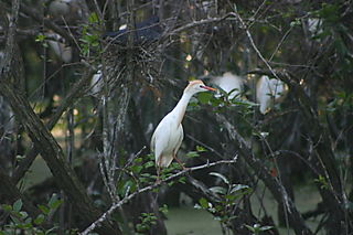 Cattle egret in tree 0933