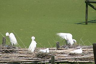 Bird Island Egrets 097