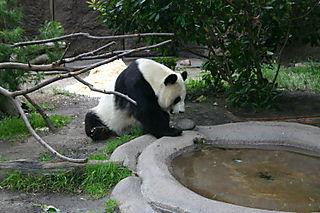 Panda 057