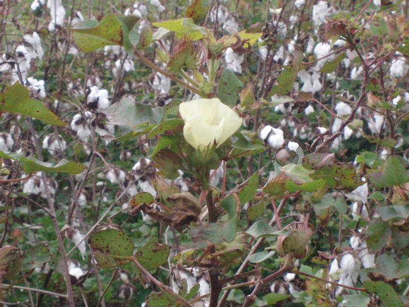 Cotton blossom43