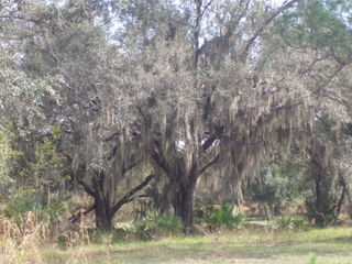 Live oaks 06