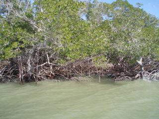 Mangrove island 06