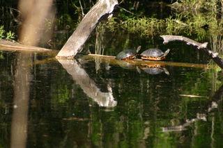 Turtles 034