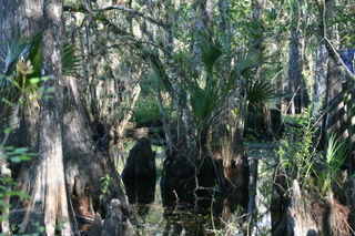 Cypress knees and swamp043
