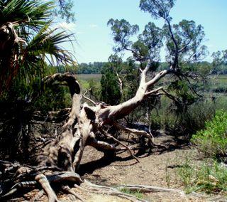 Wormsloe cedar tree