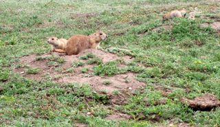 Prairie dogs pic 104
