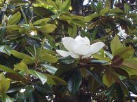Magnolia 19