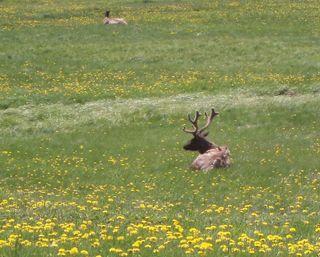 Elk 12