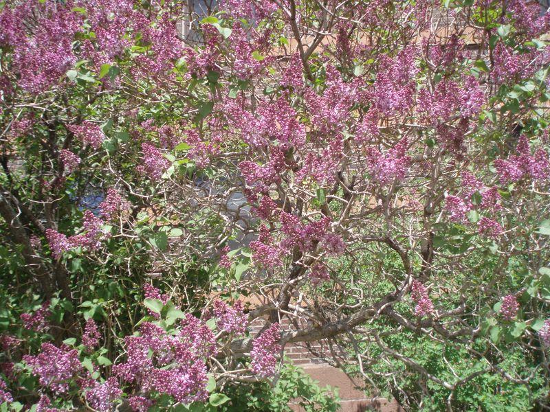 Lilac bush duluth 40