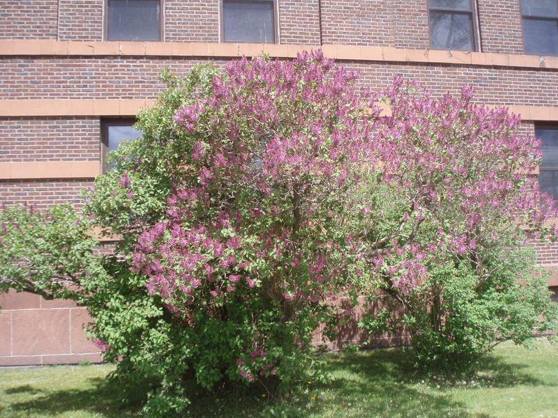 Lilac 041