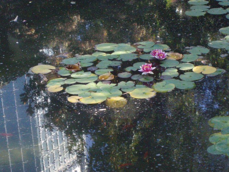Pink lily and koi pond 15