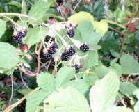 Berry bushes 012