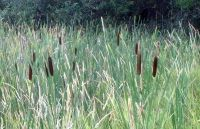 Cattails 49