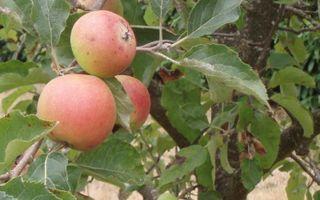Appletree 28-1