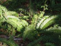 Ferns 18
