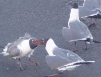Laughing gulls 40