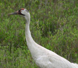 Crane closeup 1595
