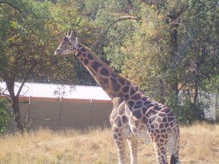 Giraffe bldg34