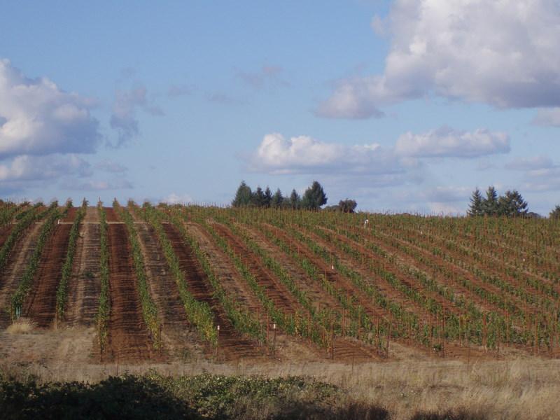 Grape vines 22