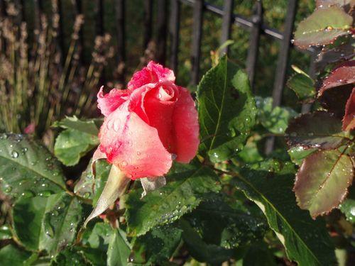 Last rosebud 46