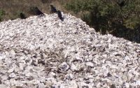 Oyster shell pile 05