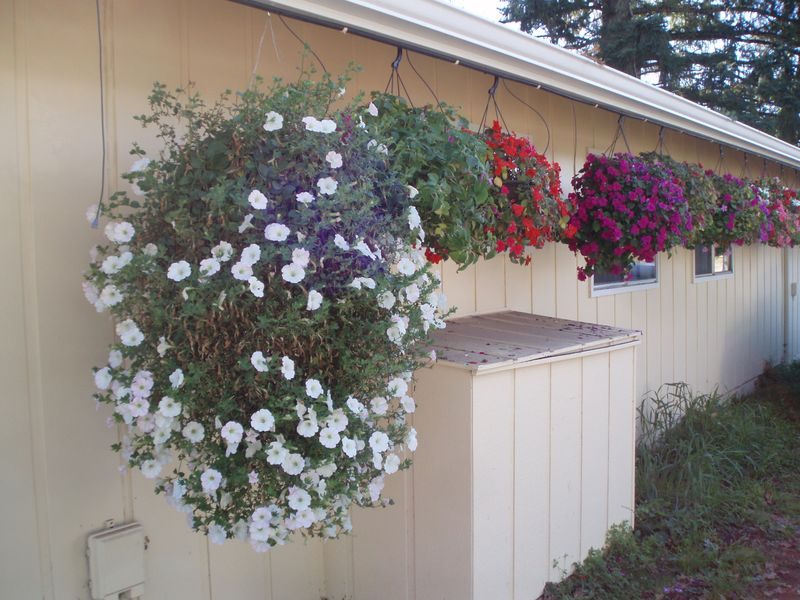 Bush's hanging baskets 32