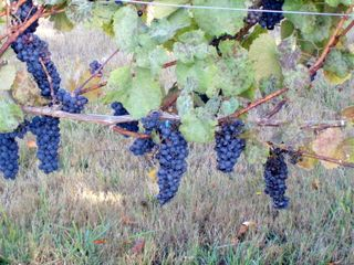 Grapes hanging16