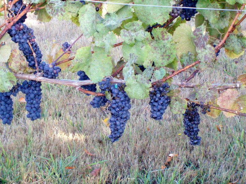 Grapes hanging16