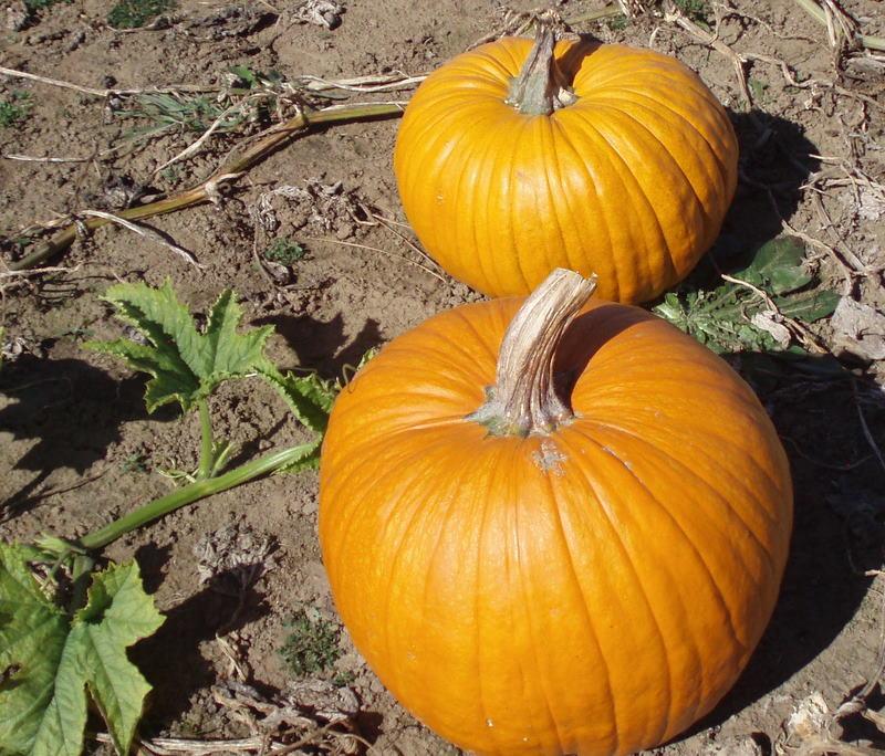 Pumpkins 23