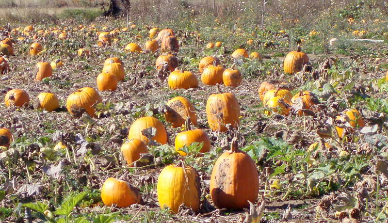 Pumpkin patch 16