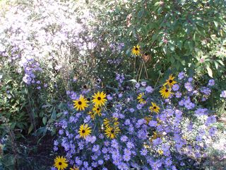 Fall flowers bl Eugene bike path 154