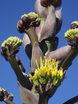 Tucson mezcal agave in bloom 82