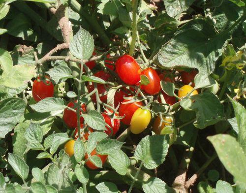 Cherry tomatoes 54