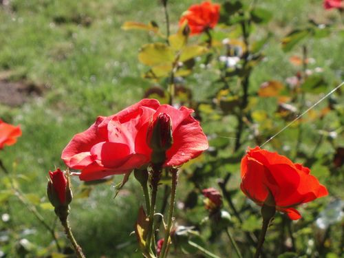 Red rose bush 159