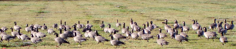 Gaggle of geese 057