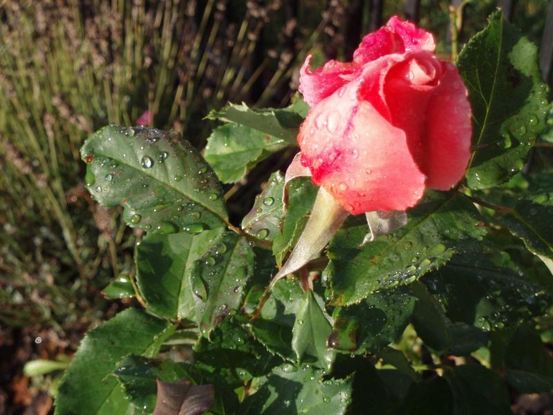 Last rosebud 47