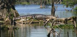 Sleeping alligator IMG_0870