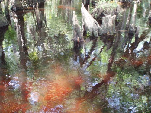 Swamp cypress knees046