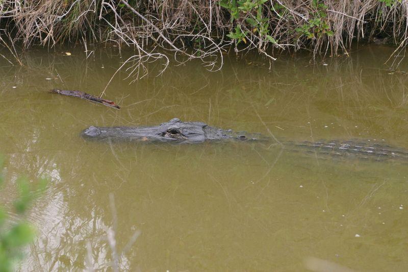 Alligator 008