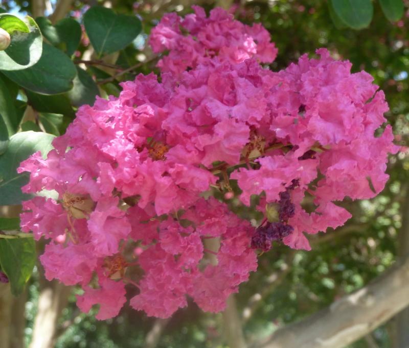 Crepe myrtle blossom011