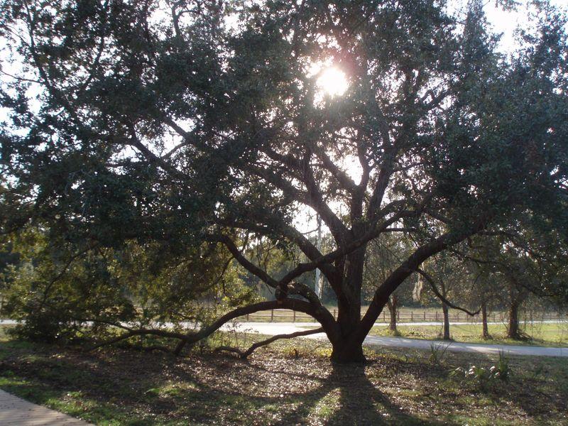 THIS live oak w sun12