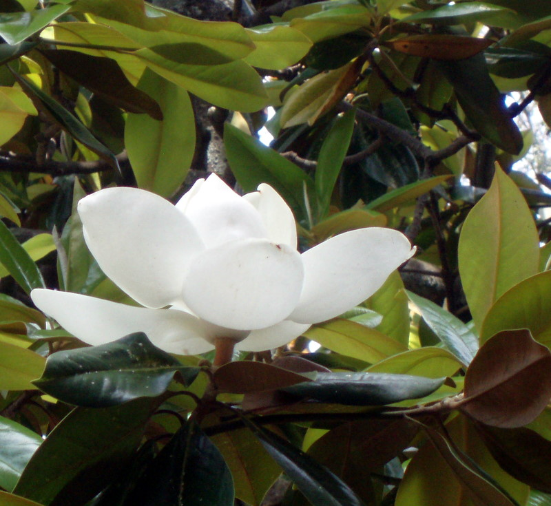 Savannah magnolia 19