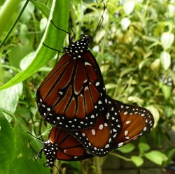 Butterflfes mat013