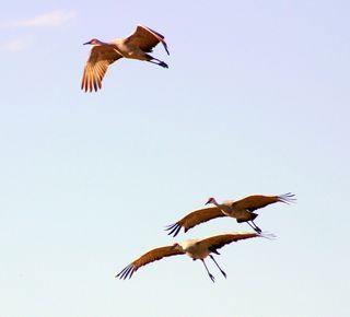 F sandhills in flight 1394