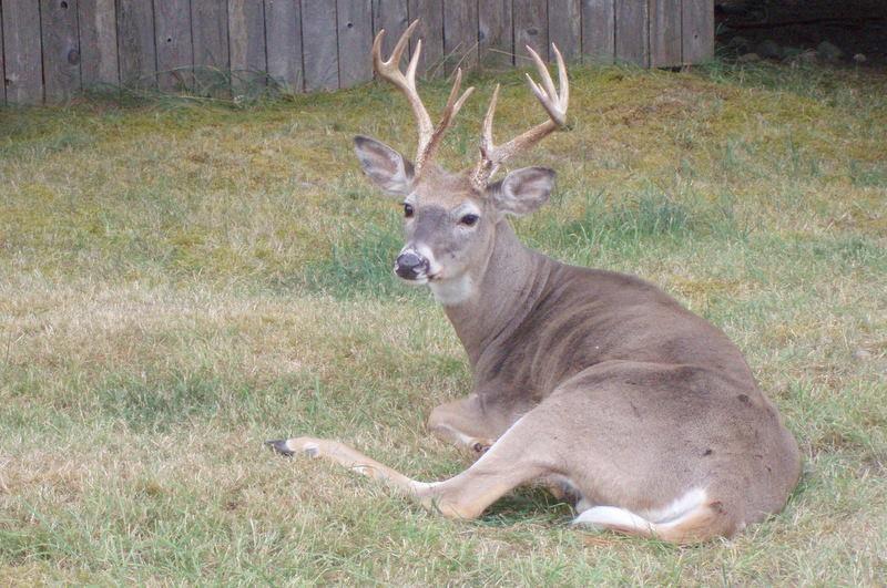 Buck deer, bey hope 100_0043
