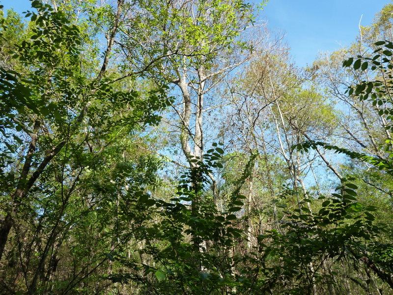 Six mile cypress