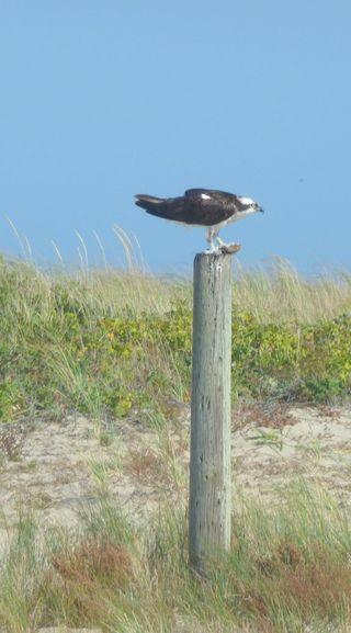 Osprey at lunch